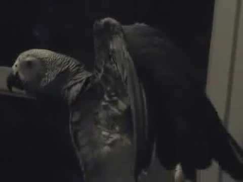 63 The African Grey Ruby The Swearing Parrot X Rated