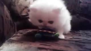 Двухмесячный персидский котенок