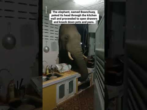 A woman in Thailand heard loud noises in her kitchen. She found an elephant looking for food.