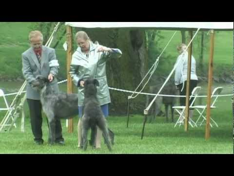 The 2012 Scottish Deerhound National Specialty