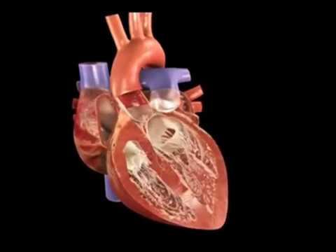 Sistema de condução elétrica do coração - ANATOMIA E ...