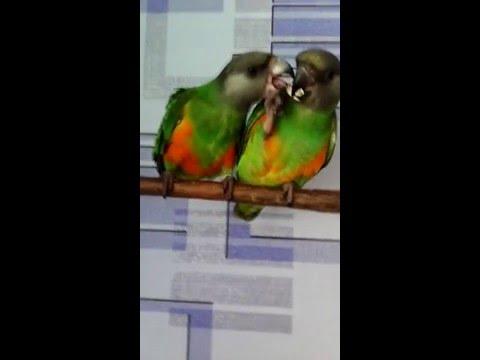 Сенегальские попугаи.Мои первенцы.