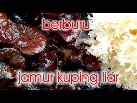Jamur Grigit - Jamur Kayu Yang Dapat Dikonsumsi Sebagai Obat.