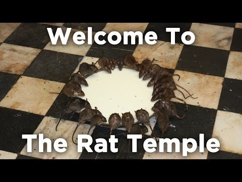 Culture Shock - Karni Mata Rat Temple | Travel With Shenaz |  Bikaner | Shenaz Treasurywala