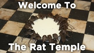 Welcome To The Rat Temple | Karni Mata Hindu Temple, Deshnok Rajasthan