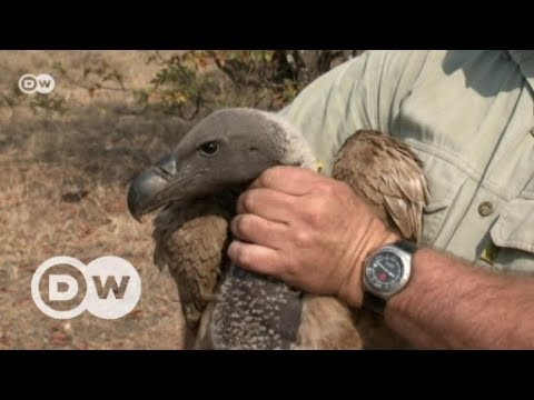 Saving Africa's maligned vulture | DW English