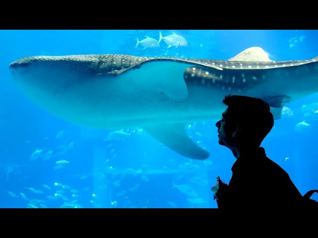 The BIGGEST shark in Captivity! - Osaka Aquarium 海遊館