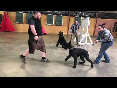 Black Giant Schnauzers Informational Promotional Video For The C Litter von Prufenpuden