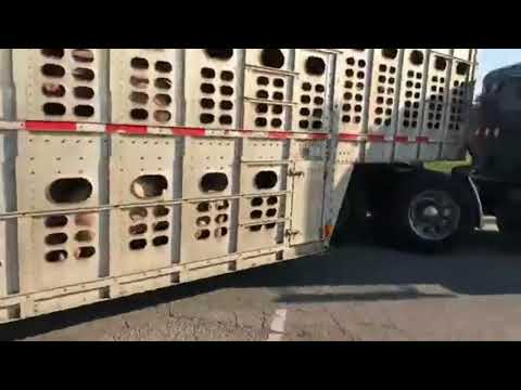 Don't Mess With Livestock Trucker