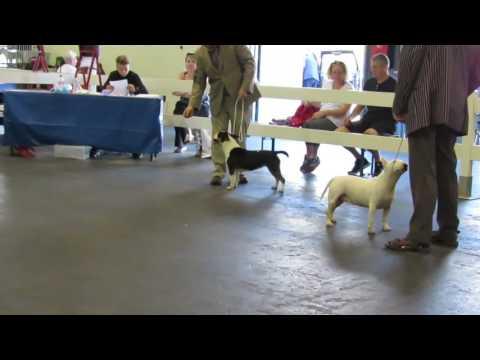 Miniature Bull Terriers Paignton Championship Dog Show 06/08/16