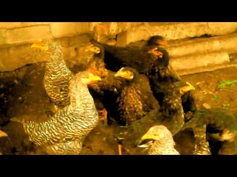 Кормление молодняка кур яичных пород подготовка к первой