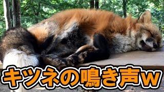 キツネの鳴き声が可愛いけど想像してたのと違う件【Fox cries】