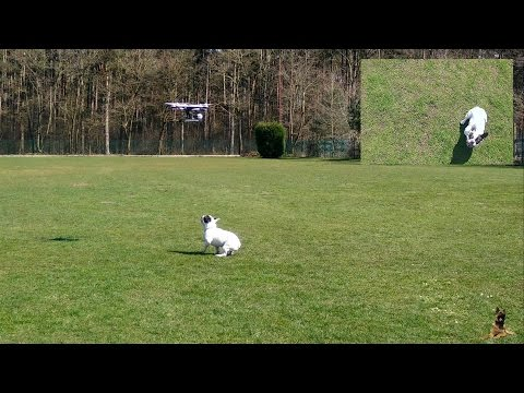 French Bulldog playing with a Yuneec Q500 Drone