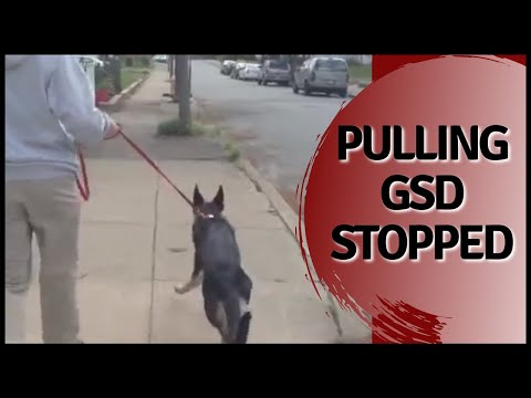 Pulling GSD stopped in seconds Solid K9 Training