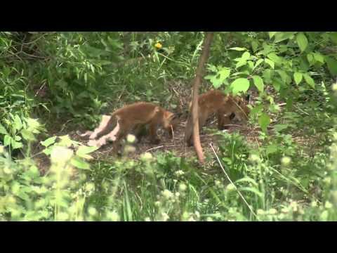 Лисицы в городе Ржев