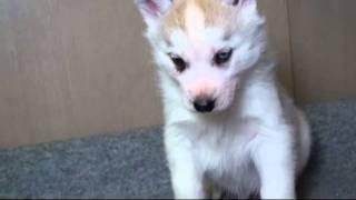 http://www.dog-puppy.jp/ 片目ブルーのバイアイ君です。性格は甘えん坊...