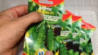 Рассада огурцов / Проращивание семян огурцов перед высадкой на рассаду