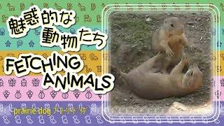 CS298【癒し HEALING】魅惑的な動物たち FETCHING ANIMALS~prairie dog プレーリードッグ
