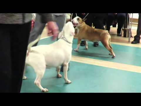 West of England Bull Terrier Club Championship Show March 2016 Limit Bitch