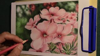 drawing pink phlox flowers with colored pencils