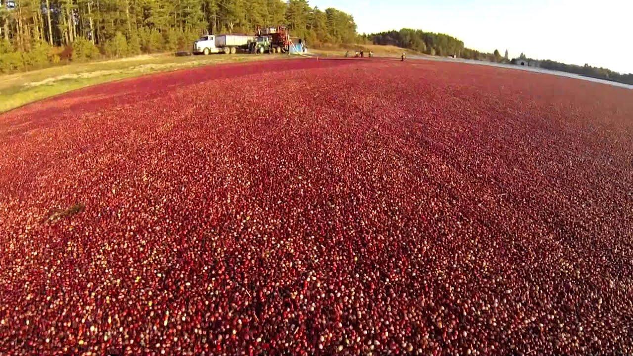 Aerial View Cranberry Harvest - Carver, Massachusetts ...