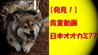 山イノシシを食べているオオカミのような犬。柴犬とハスキーの混血っぽ...
