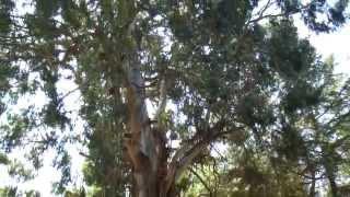 Лечебное дерево в Абхазии(Вместо лекарств есть полезный для здоровья и чистый воздух от дерева. дерево в Абхазии - эвкалипт. смотрите..., 2013-10-01T19:13:56.000Z)
