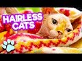 Hooray for Hairless Cats | Funny Cats Compilation | #thatpetlife