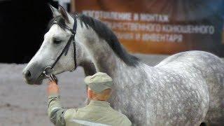 ТРАКЕН, тракененская лошадь - порода для спорта: конкур, выездка, троеборье. #ИППОсфера 2019