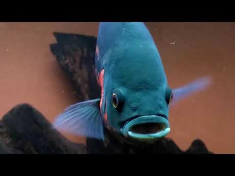 Oscar fish growth | 2 inch to 10 inch