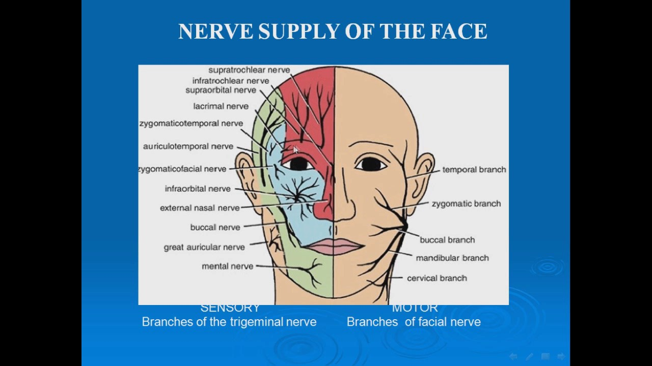 10 Nerve Supply Of The Face Sensory Trigeminl N Youtube