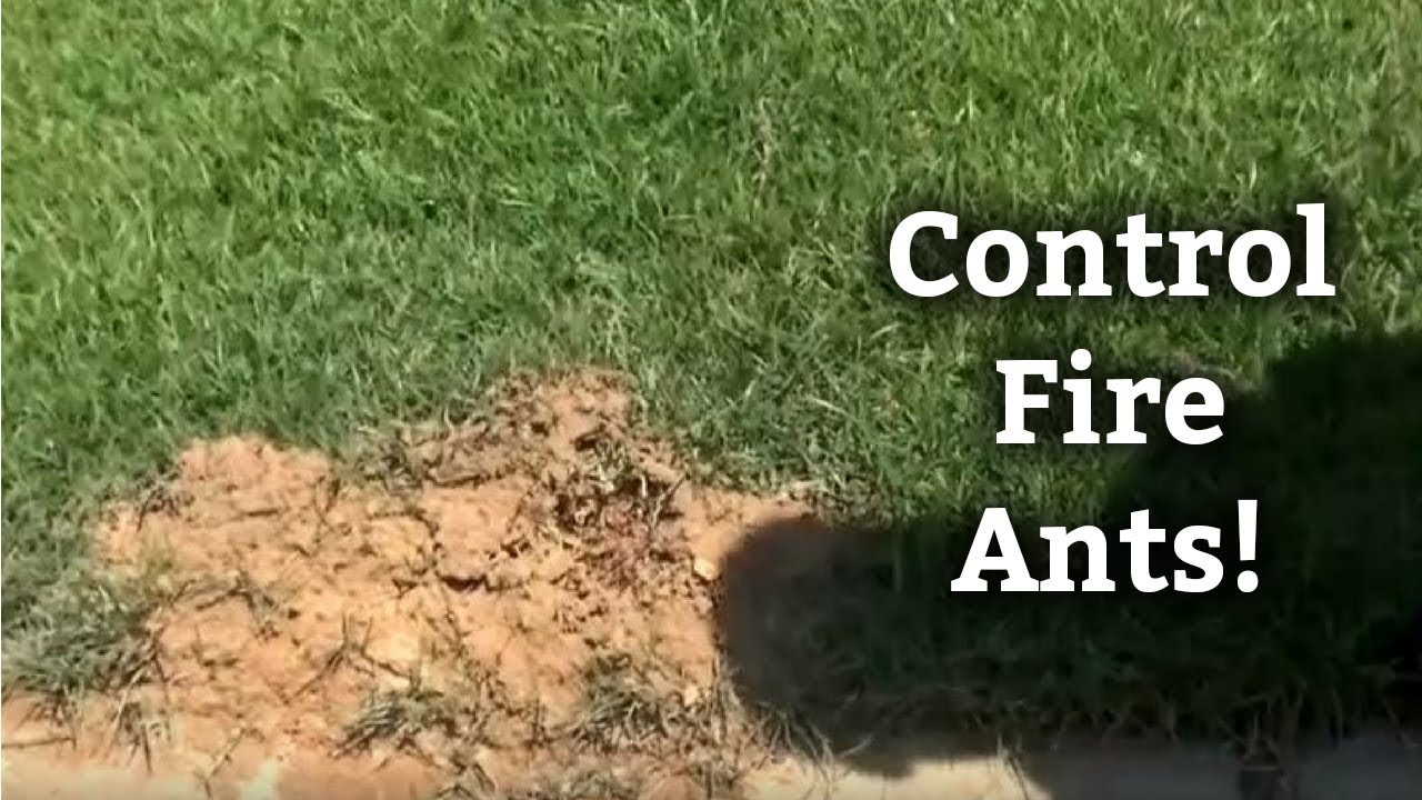 How To Control Fire Ants Expert Lawn Care Tips