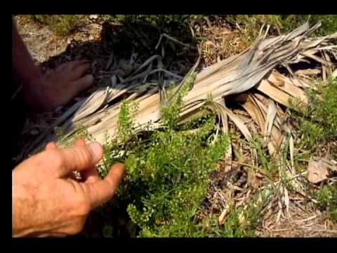 Pepperweed Lepidium Virginicum.avi