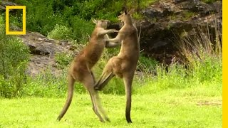 Kangaroo vs  Kangaroo | National Geographic