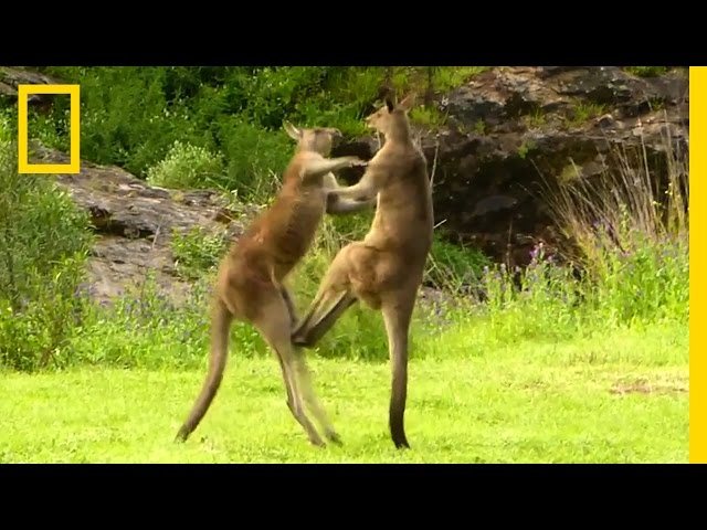 Kangaroo vs. Kangaroo | National Geographic