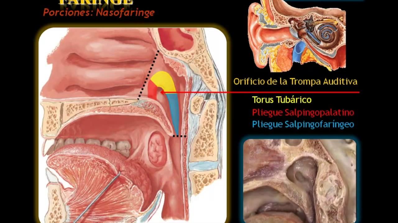 anatomia de faringe - YouTube