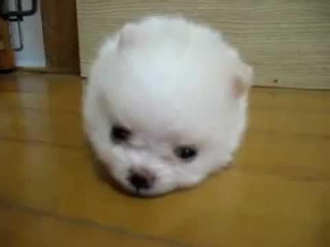 クレヨンしんちゃんのシロの得意技「わたあめ」を完全再現する犬