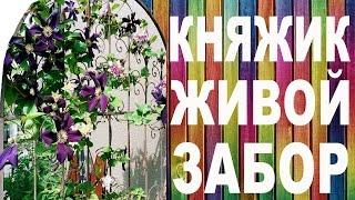 КНЯЖИК - ЖИВОЙ ЗАБОР – вертикальный сад от Nina Petrusha channel Clematis TV