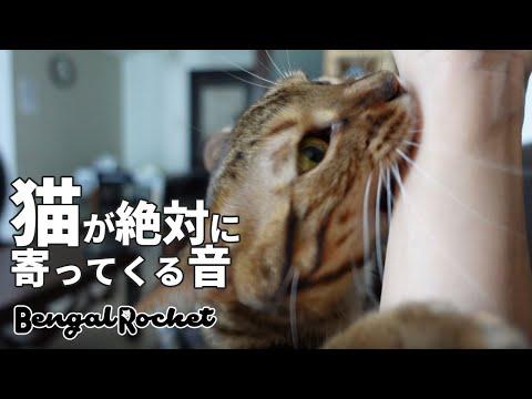 【検証】TikTokで話題の猫が絶対に寄って来る音を聞かせたら猫に襲われたwww 【ベンガルロケット♯127】