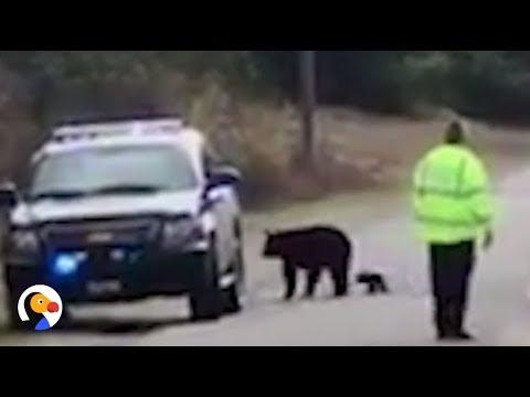 Cop Helps Bear Family Cross The Road | The Dodo