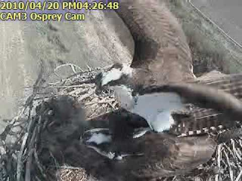 Montana Osprey Mating in Nest