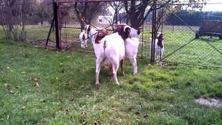 Kozy burskie - ruja (Boer goats)