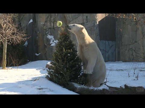 شاهد: لأشجار عيد الميلاد المستخدمة فائدة كبيرة في حديقة حيوان أمريكية…  - نشر قبل 6 ساعة