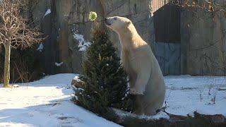 شاهد: لأشجار عيد الميلاد المستخدمة فائدة كبيرة في حديقة حيوان أمريكية…