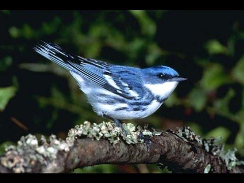 Master Pleci Suara Burung Luar Negeri Nembak Part 1