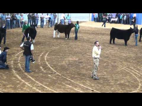 Tulsa State Fair - Grand Champion Steer Drive Sponsored by Lucky Strike Show Cattle on MLC TV