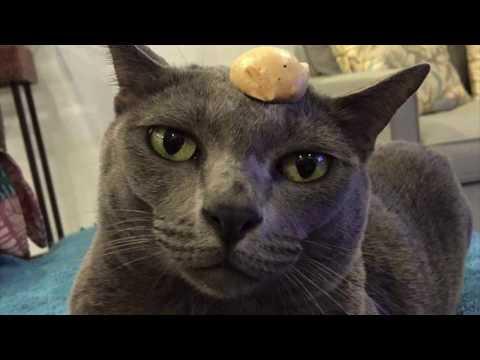 Korat Cat Head Balancing Tricks Compilation หัวแมวพาเพลิน แมวตลก