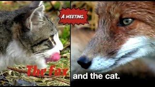Как поссорилась кошка с лисой. Кот и лиса. Схватка. Лисы против котов.