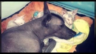 Невероятная дружба голой кошки и голой собаки!!!