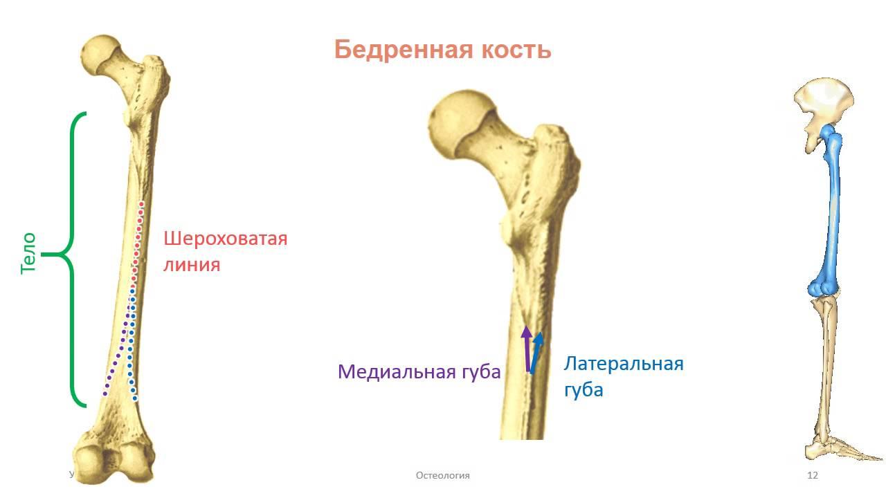 Суставы пояса нижней конечности видео стволовые клетки в суставах